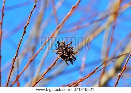 Dried Blossom Willow Rose Is Formed From Infection Of A Tree With An Insect, Willow Rose-forming Gal