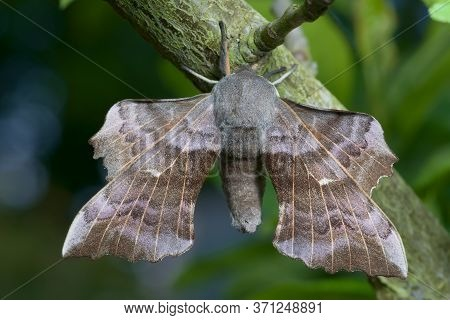 Rich Detailed Image Of A Large Poplar Hawk Moth And Its Big Spread Wings. Blue And Green Smooth Back