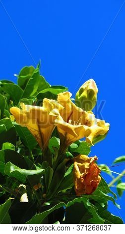 Closeup Of Cup Of Gold Vine Or Golden Chalice Vine (solandra Maxima) In Andalusian Village