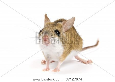 Mitchell's Hopping Mouse Notomys Mitchellii on a white background.