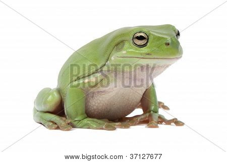 Magnificent green tree frog Litoria splendid isolated on white background.