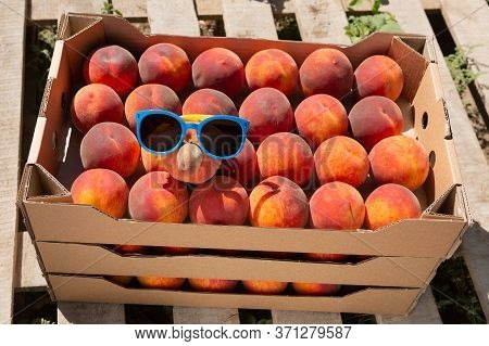 Boxes With Ripe Peaches Stand In A Peach Orchard, Sunglasses On Peaches, The Concept Of Summer