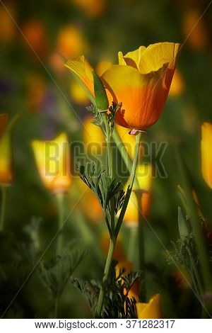 Beautiful Yellow Flowers - California Poppy, It Is A Flower Symbol Of The State Of California, Lit B