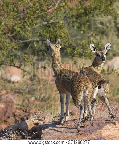 Sturdy Male And Female Klipspringer Pair Standing Tiptoe On A Rock In Mapungubwe, South Africa