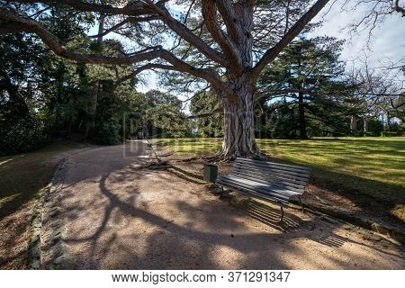 Gray Wooden Bench Under A Large Pine Tree In The Park