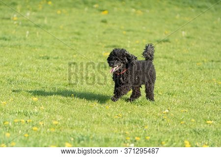 Black Poodle Dog. A Green Meadow, Illuminated In The Afternoon Sun. Running Dog. Shaggy Hair.