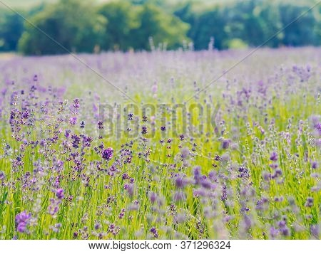 Violet Lavender Field Blooming In Summer Sunlight. Sea Of Lilac Flowers Landscape In Provence, Franc