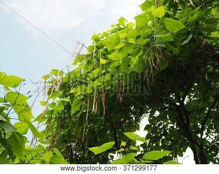 Branch Of Catalpa Bignonioides Tree With Fruit