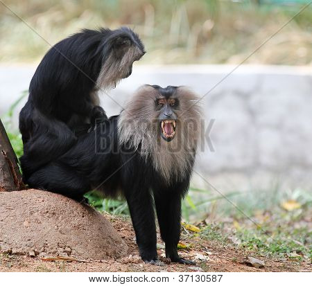 Endangered And Threatened Endemic Monkey Of India - Lion-tailed Macaque.its Also Known As Wanderoo,
