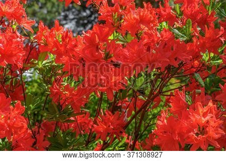 Rhododendron Red Flower Fresh Blooming On The Park. Rhododendron Flower Pattern.