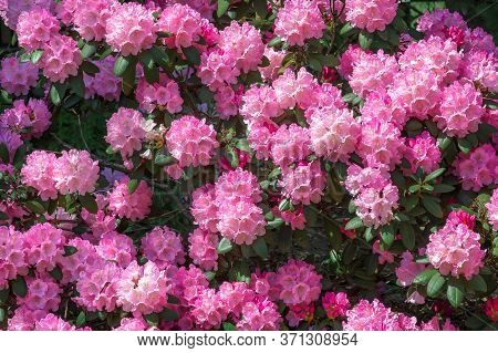Rhododendron Pink Flower Fresh Blooming On The Park. Rhododendron Flower Pattern.