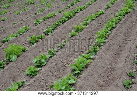 Potato Field With Green Shoots Of Potatoes. Green Leaves Of Young Potatoes Grow On Beds In Ground In
