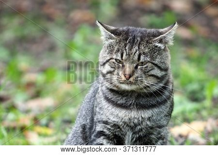 Portrait Of A Frowning Gray Tabby Cat With Clasped Ears