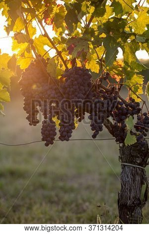 Ripe Merlot Grapes Lit By Warm Late Sunshine In Montagne Vineyard Near Saint Emilion, Gironde, Aquit