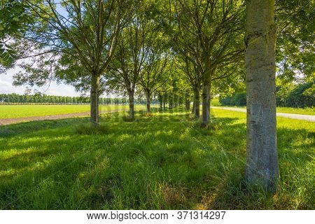 Double Line Of Trees With A Lush Green Foliage In A Grassy Green Pasture Along An Agricultural Field