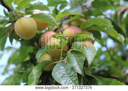 Immature Common Plum(prunus Domestica) Fruit On Plum Tree