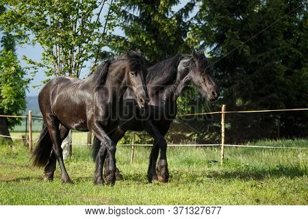 Friesian Horse Mare With Foal On Pasture