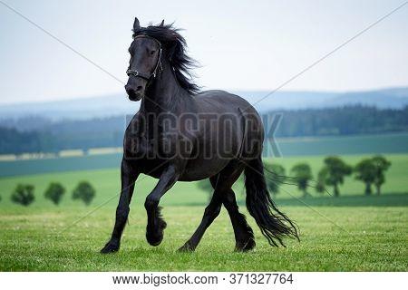 Running Gallop Black Friesian Horse On Pasture