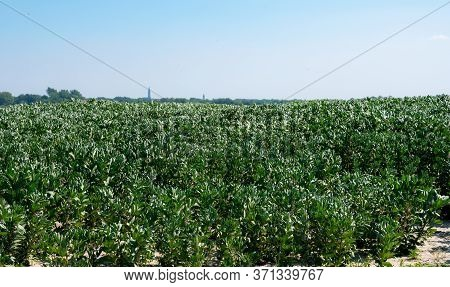 Plantation Of Broad Beans Or Vicia Faba Plants In Zeeland, Netherlands