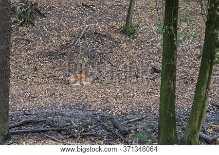 Fallow Deer - Dama Dama Lies On The Ground In The Leaves Among The Trees. Wild Photo Of Nature.