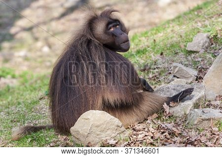 Papio - Baboon Sits In The Garden And Looks Around