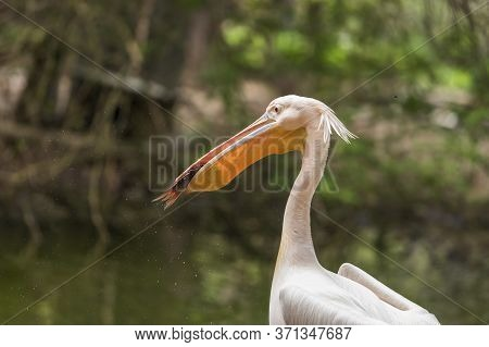 Pelican - Pelecanus - A Large White Bird Has A Fish Caught In Its Beak. The Pelican Is Standing By T