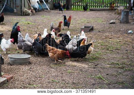 Free Range Chickens Roam The Yard