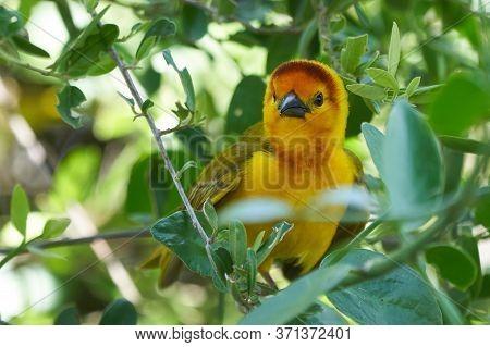 Golden Palm Weaver Ploceus Bojeri Ploceidae Sweet Portrait