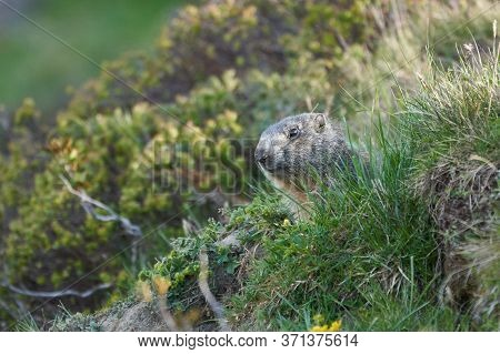 Alpine Marmot Marmota Marmota Switzerland Alps Mountains