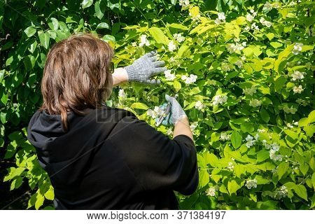 An Adult Woman Corrects A Flowering Bush. She Cuts A Branch With Flowers With A Pruner. Concept: Gar
