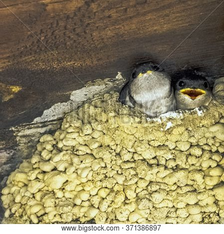 Common House Martin (delichon Urbicum), Sometimes Called The Northern House Martin - Nest With Chick