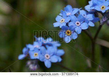 Myosotis Alps Switzerland Family Boraginaceae Forget Me Nots Or Scorpion Grasses
