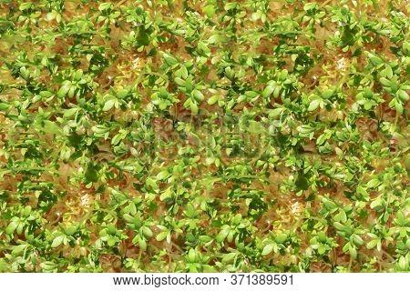 Fresh Organic Plant Vegetables. Green Watercress. Top View Pattern Background