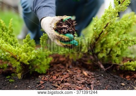 Gardener Mulching With Pine Bark Juniper Plants In The Yard. Seasonal Works In The Garden. Landscape
