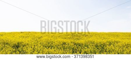 Beautiful Field Of Yellow Rape Isolated. A Closeup Photo Of A Rapeseed Flower. Growing Seeds Of Agri