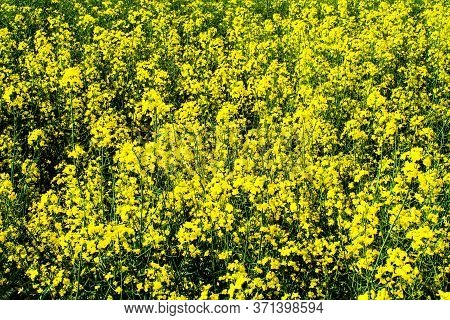 Beautiful Field Of Yellow Rape. Texture Of Rapeseed Flowers Close Up. Growing Seed Crops. Rapeseed O