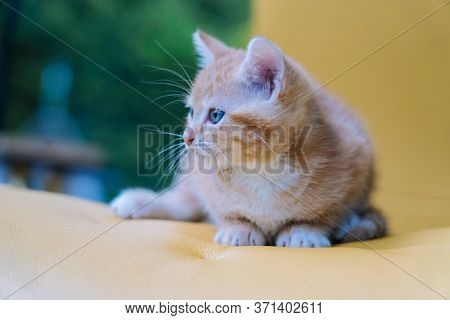 Cute Little Red Cat Sitting On Yellow Chair Near Window On Background. Young Cute Little Red Kitty.