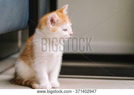 Cute Little Red Cat Stay On Wooden Floor With Window On Background. Young Cute Little Red Kitty. Lon