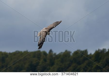 Peregrine Falcon Falco Peregrinus Duck Hawk Falconidae Flying In The Air