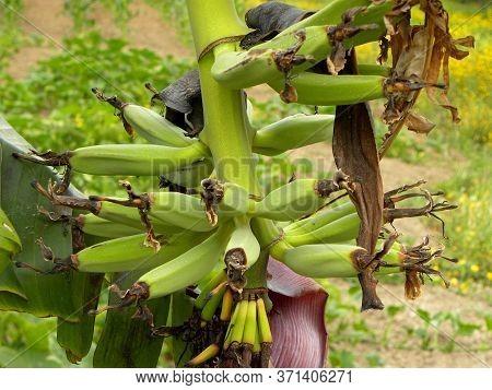 Bunch Of Green Bananas On A Banana Tree. Growing Bananas. Ripening Bananas On A Tree.