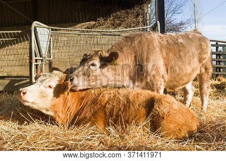 Young Brown Cows Nuzzling In A Cowshed Or Barn On A Livestock Farm, Uk