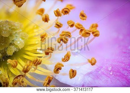 Macro Rosehip Flower With Water Drops High Detail Closeup
