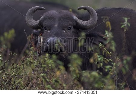 African Water Buffalo Serengeti - Syncerus Caffer Big Five Safari Billed Oxpecker
