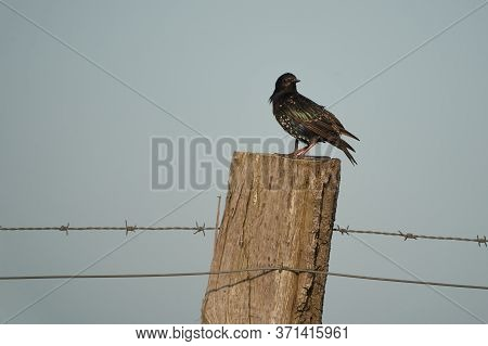 Common Starling Sturnus Vulgaris European Passerine Bird Sturnidae On A Tree