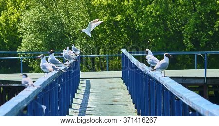 White Seagulls Sit On The Wharf General Plan Color