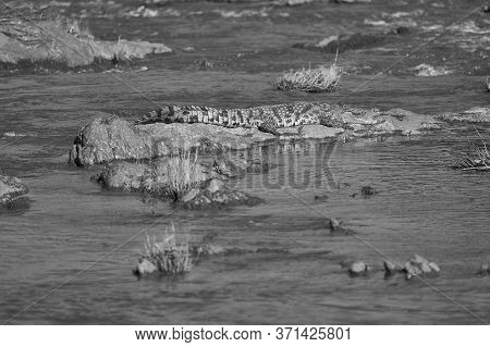Nile Crocodile Crocodylus Niloticus Large Crocodilian At River Serengeti