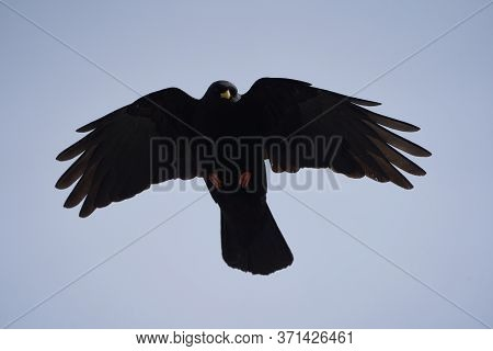Alpine Chough Yellow Billed Pyrrhocorax Graculus Crow Pyrrhocorax Switzerland Mountain Flight
