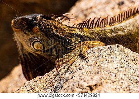 Close Up Of Green Iguana, Latin Name Iguana Iguana, In The South Florida. Iguanas Are Not Native To