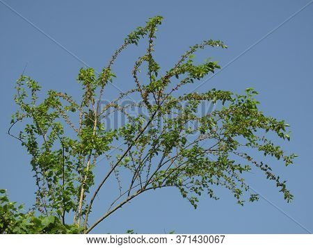 Branches Of Mulberry Tree In Spring On Blue Sky Background. Fresh Green And Pink Organic Mulberry Fr