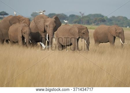 Elephant Group Amboseli - Big Five Safari White Heron African Bush Elephant Loxodonta Africana